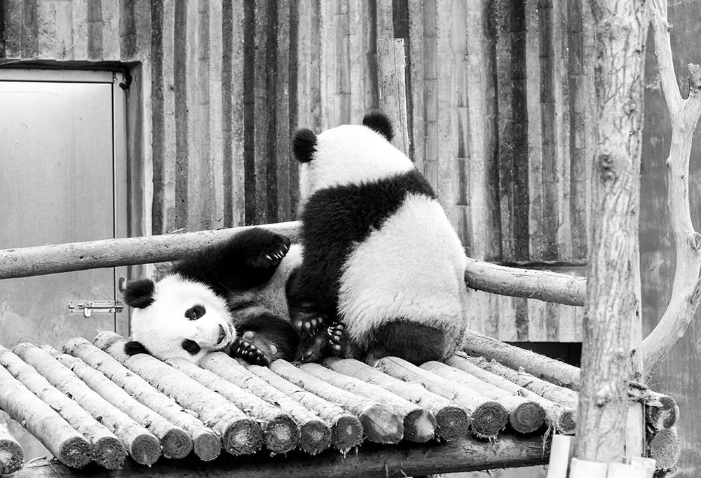 Sichuan : Chengdu et ses pandas
