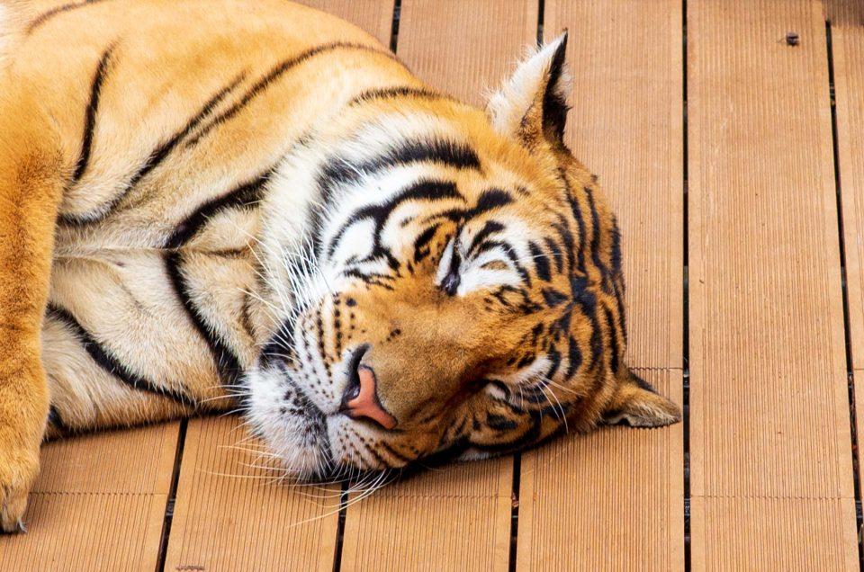 Pourquoi je n'ai pas caressé de tigres à Chiang Mai ?