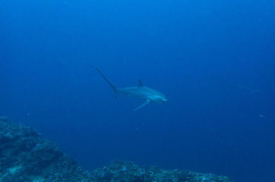Malapascua : Plonger avec les requins-renard