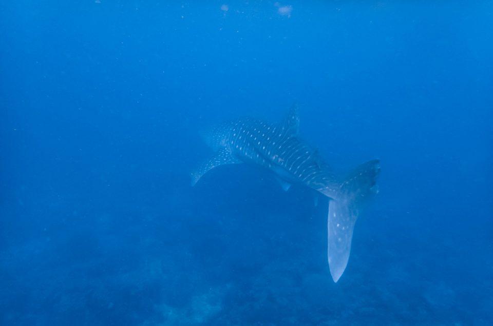 Rencontre avec les requins-baleines aux Philippines